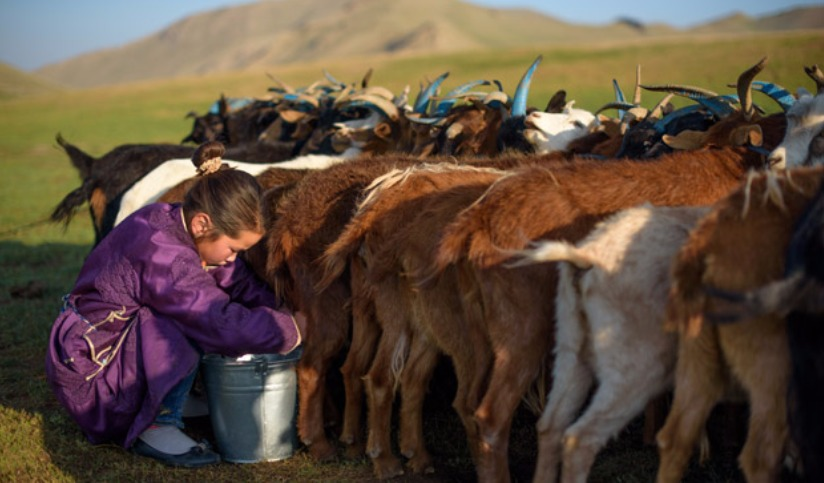 Young girl milking goats